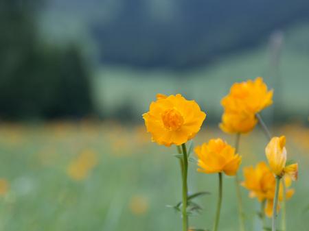 Orange globe-flower (lat. Trollius).