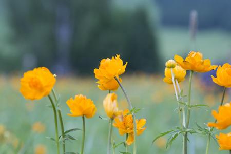Globe-fleur orange (lat. Trollius).