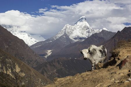 Nepal, the Himalayas, the Everest region. A shaggy Yak stands against a mountain landscape. Behind you can see mount AMA Dablam - one of the most beautiful peaks of the Sagarmatha national Park.