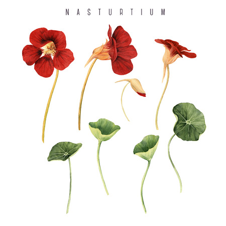 Nasturtium, watercolor, can be used as greeting card, invitation card for wedding, birthday and other holiday and  summer background.