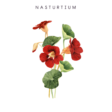 Bouquet of nasturtium, watercolor, can be used as greeting card, invitation card for wedding, birthday and other holiday and  summer background. Standard-Bild - 97789392