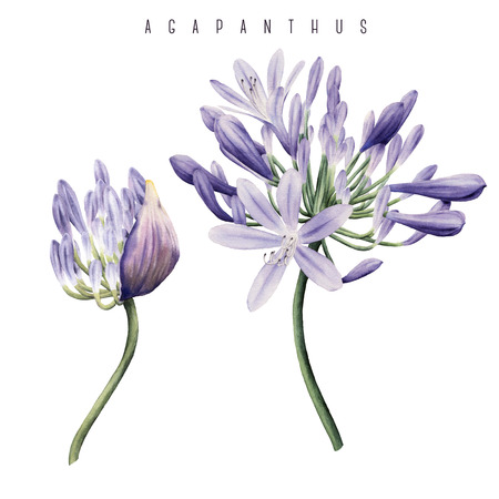 Agapanthus, watercolor, can be used as greeting card, invitation card for wedding, birthday and other holiday and  summer background. Stockfoto - 97789477