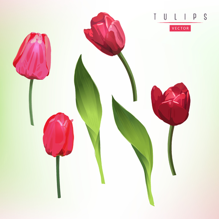 Tulips and leaves, watercolor, can be used as greeting card, invitation card for wedding, birthday and other holiday and  summer background. Vector illustration.