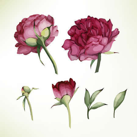 Peonies and leaves, watercolor, can be used as greeting card, invitation card for wedding, birthday and other holiday and  summer background. Vector illustration.