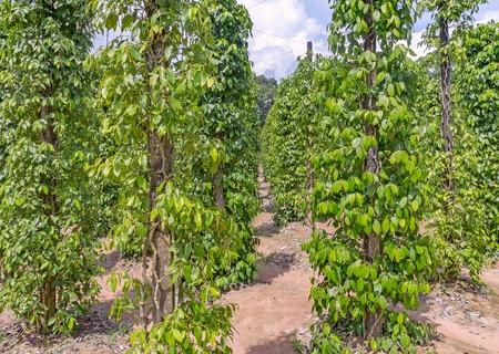 Pfefferplantage auf der Insel Phu Quoc Standard-Bild