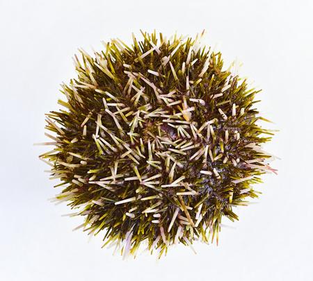 mollusk: sea urchin. mollusk Stock Photo
