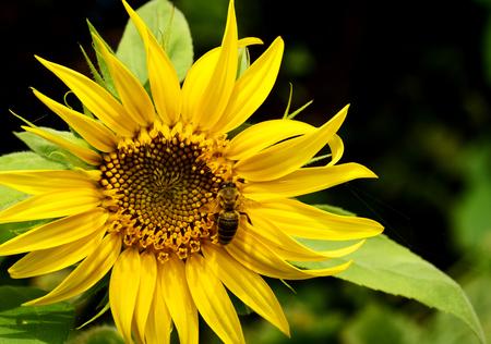 helianthus: Sunflower blooming. Bee on sunflower Stock Photo