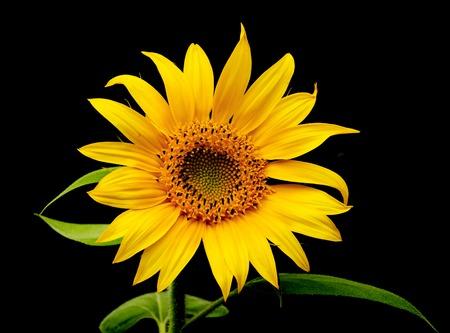 helianthus: Sunflower on dark background. Sunflower close-up