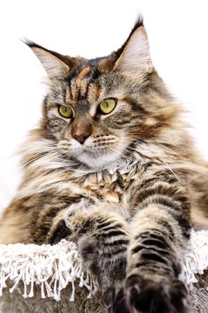 grapnel: Cat muzzle. Maine coon cat