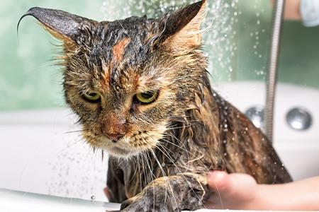猫のお風呂。ウェットの猫 写真素材