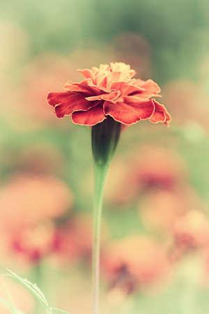 burgeoning: Summer red flower