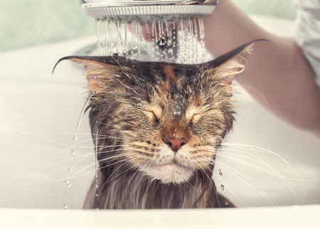 Wet cat in the bath Banque d'images