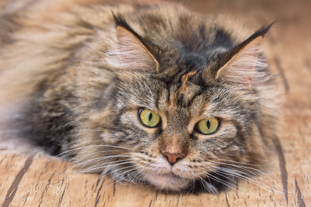 Cat lies on the floor. Maine Coon Stock Photo