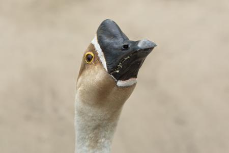Domestic goose close-up. Head of a domestic goose. Black beak Stock Photo