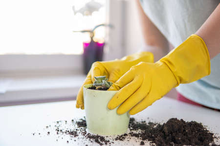 female hands in yellow gloves transplant a violet houseplant.