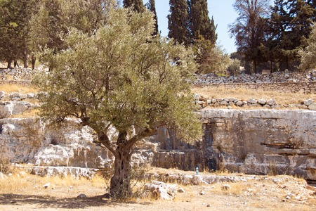 Garden of Gethsemane. Thousand years old olive trees. Authentic place, Jerusalem, Israel