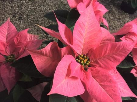 Christmas flower-Pink Poinsettia (Euphorbia pulcherrima) in the flower market. close up. Stock Photo