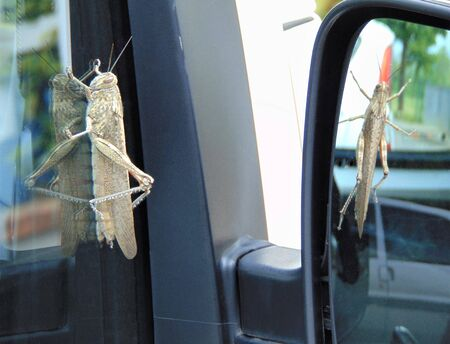 Migratory locust, Locusta migratoria sitting on the car window and reflected in the mirror. the insect can be seen simultaneously from the side and from above.