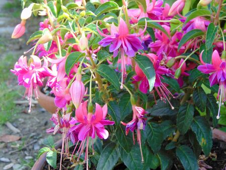 Pink and purple Fuchsia hybrida Bella Rosella (Hybrid fuchsia Bella Rosella) growing in the garden in spring during the flowering period.
