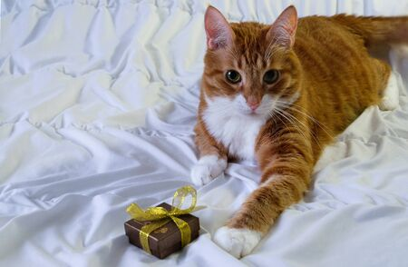 Beautiful adult cat of red suit calmly lies on a soft white background, looks into the camera and offers a gift in a small box on Valentines Day. Horizontal orientation, selective focus.