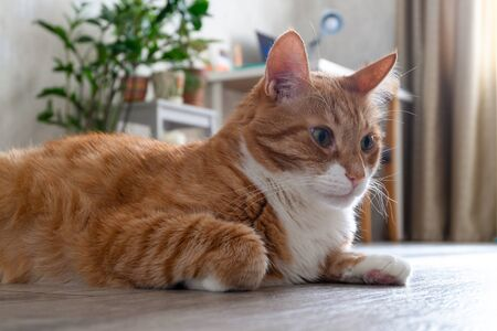 Sad red-haired house cat lies on the floor of a natural tree in a living room in the apartment and looks in front of him. Horizontal orientation, blurred background, skill focus.