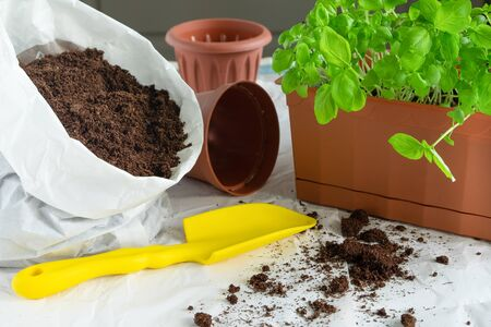 Transplantation of basil seedlings. A home garden. Growing herbs on the windowsill or balcony. Horizontal orientation, selectiv focus, blurred backgraund