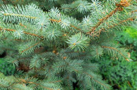 Close-up of coniferous evergreen branches. Horizontal orientation, selective focus.