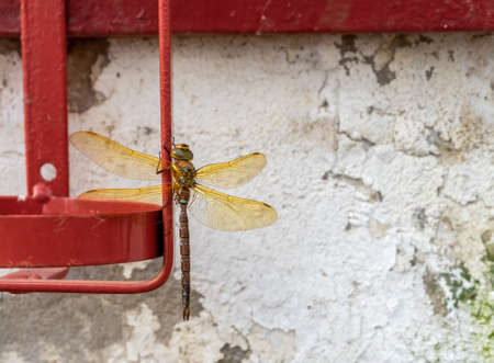 A large dragonfly sits on an old cracked plastered wall in a village or small town. Horizontal orientation, selective focus.