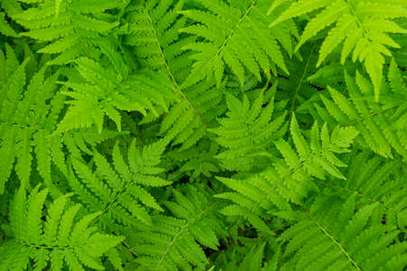 Fern leaves close-up as background. Horizontal orientation, selective focus, soft focus, top view. Zdjęcie Seryjne