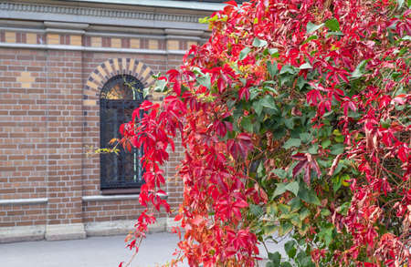 Girlish grapes with beautiful bright autumn leaves on the background of a brick wall of an unrecognizable building with a window. Horizontal orientation, selective focus.