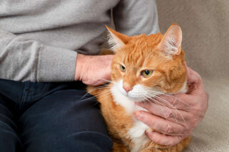 An adult large red cat sits on the couch next to its owner, an adult man. Horizontal orientation, selective focus.