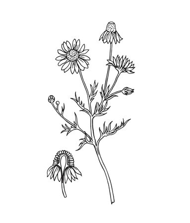 Pharmacy chamomile, vector contour drawing.