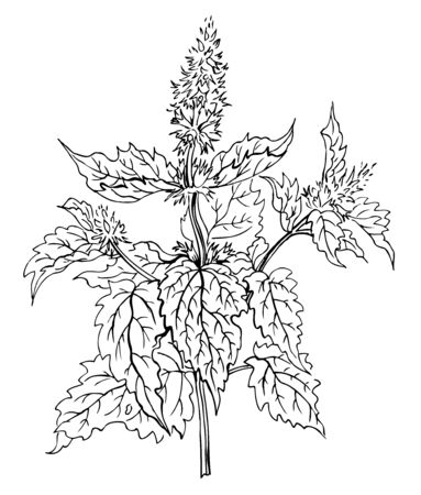Plant mint, contour hand drawing. Spices and medicinal plants. Vetores