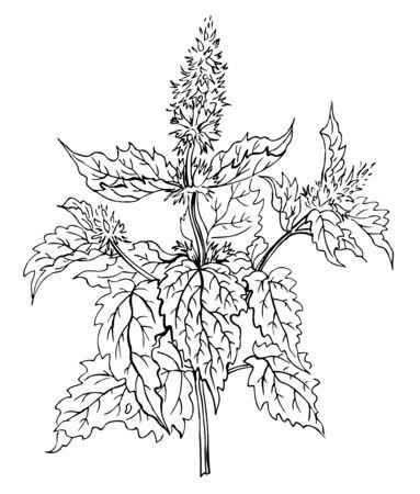 Planta de menta, dibujo a mano de contorno. Especias y plantas medicinales. Ilustración de vector