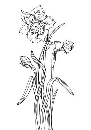 Narzisse mit Knospen und Blättern, eine Kontur-Schwarz-Weiß-Vektor-Illustration. Vektorgrafik