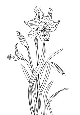 Narzisse mit Knospen und Blättern, eine Kontur-Schwarz-Weiß-Vektor-Illustration.