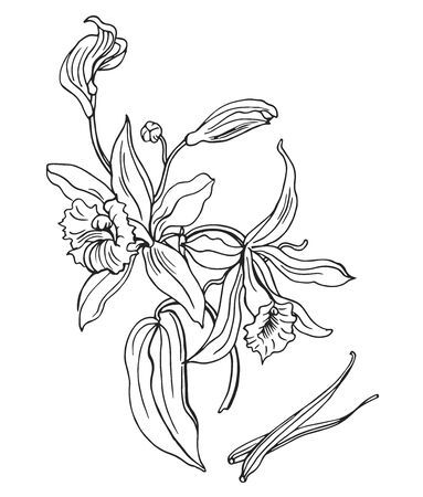 Flowering vanilla and her pods, outline vector illustration on a white background.