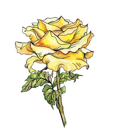 Yellow rose with a stem by leaves, hand drawing on a white background. Rose yellow floribunda, watercolor illustration with contour.