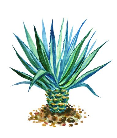 Blue agave, a valuable food plant for the production of tequila, watercolor illustration on a white background, isolated. 免版税图像