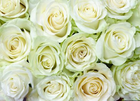 Background of delicate white roses for the wedding, for greeting cards, invitations, etc.