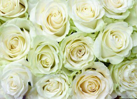 Fond de délicates roses blanches pour le mariage, pour les cartes de voeux, les invitations, etc.