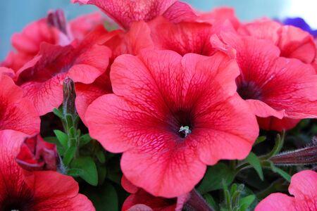 Red flowers of petunias, macro photography.