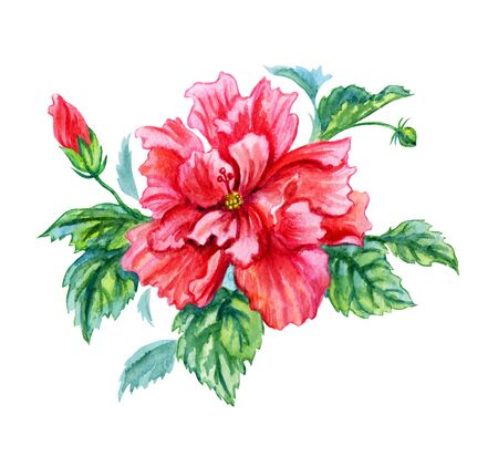 Red and pink hibiscus, tropical flower, watercolor painting on white background, . Stock Photo