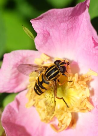 Bulb fly in a flower of a dogrose, macro photography.