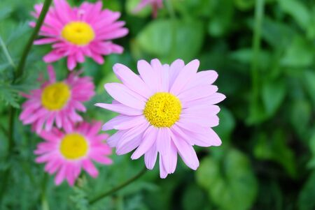 Pale pink and bright pink Pyrethrum flowers in the flowerbed, macro photo, selective focus, blurred background.