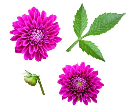 Flowers, bud and leaves of dahlias on a white background, isolated, flower set. Dahlia set