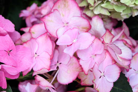 Pink hydrangea flowers close-up, macro photo, horizontal format.