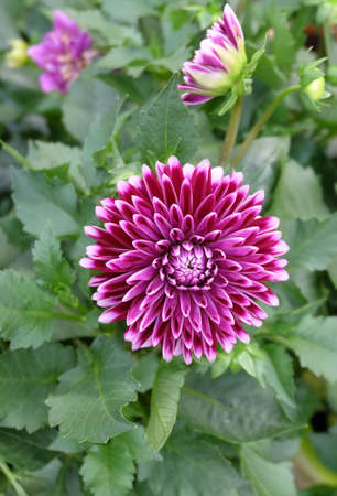 Burgundy dahlia with white edges of the petals among the greenery in the flowerbed.