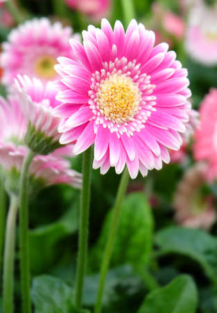 Pink gerbera flower among the flowers in the greenhouse, macro photo, vertical format. Фото со стока