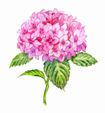 Pink hydrangea, lush inflorescence with stem and leaves, watercolor illustration, botanical print for postcards, textiles, book illustrations, etc.